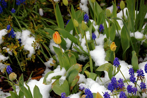 Spring flowers and snow.... Just seems wrong!