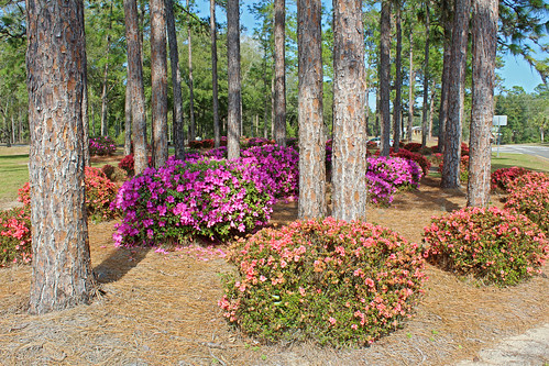 landscape median shrubs azaleas flowers blooms trees pinetrees citrussprings florida