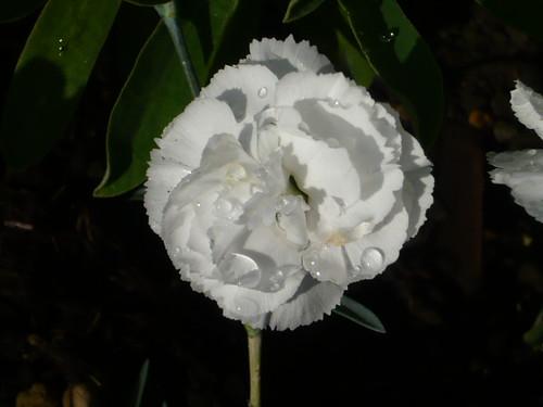 Dianthus - pink