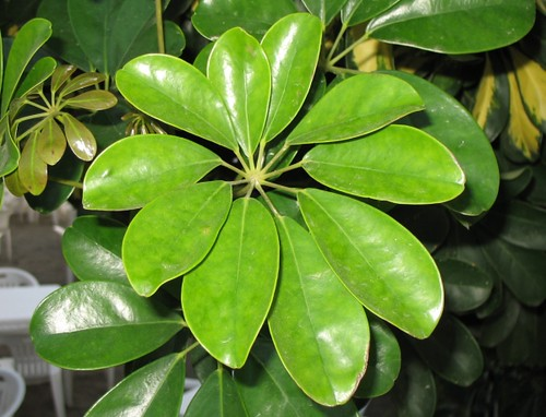 Photo: Dwarf Schefflera