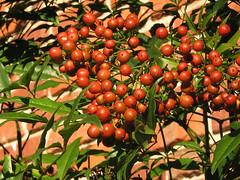acerola(0.0), flower(0.0), hippophae(0.0), produce(0.0), food(0.0), shrub(1.0), cherry(1.0), plant(1.0), fruit(1.0),