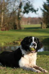 landseer(0.0), newfoundland(0.0), dog breed(1.0), animal(1.0), dog(1.0), pet(1.0), stabyhoun(1.0), bernese mountain dog(1.0), carnivoran(1.0),
