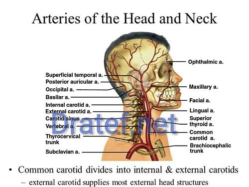 Dratef.net ,anatomy,3d