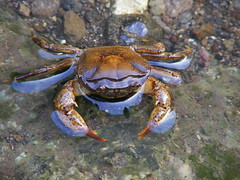 dungeness crab(0.0), food(0.0), fiddler crab(0.0), crab(1.0), animal(1.0), freshwater crab(1.0), shellfish(1.0), ocypodidae(1.0), crustacean(1.0), seafood(1.0), marine biology(1.0), invertebrate(1.0), fauna(1.0), chesapeake blue crab(1.0), wildlife(1.0),