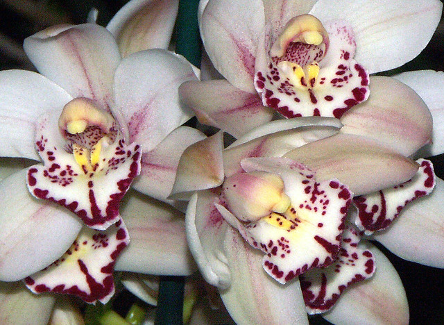 Cymbidium Castle of Mey 'Cooksbridge Pinkie' hybrid orchid, 1st bloom 2-07*