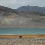 Camel Near Sasyk Kul Lake - Murghab, Tajikistan