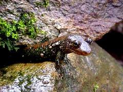 animal, amphibian, newt, salamander, lissotriton, fauna, wildlife,