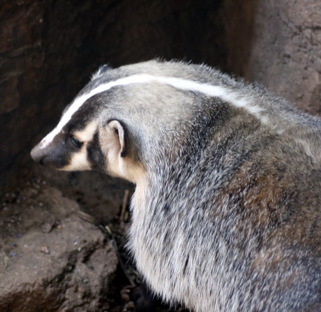 Header of American badger