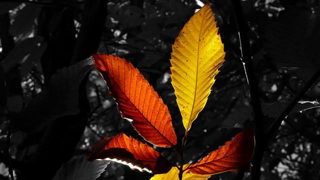Châtaignier: feuilles bicolores