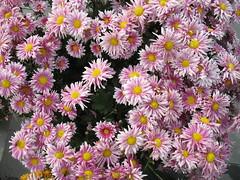 asterales(0.0), marguerite daisy(0.0), chrysanths(0.0), dorotheanthus bellidiformis(1.0), aster(1.0), annual plant(1.0), flower(1.0), plant(1.0), daisy(1.0), flora(1.0), petal(1.0),