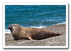 elefante marino del sur / Southern elephant seal