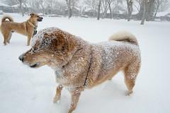 Photograph: Snow Covered Bear