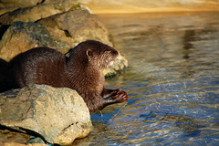 animal, mustelidae, mammal, fauna, sea otter, whiskers, mink, wildlife,