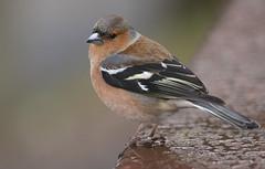 animal, sparrow, perching bird, fauna, close-up, old world flycatcher, beak, brambling, bird, wildlife,