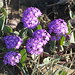 Small photo of Sand Verbena (Abronia umbellata)