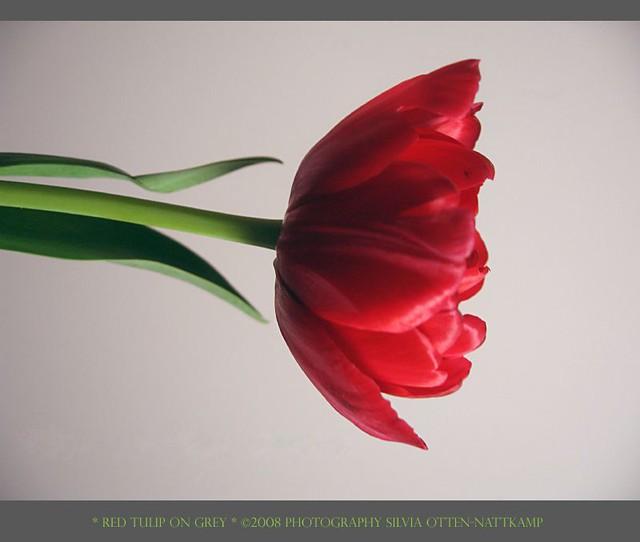 red tulip on grey
