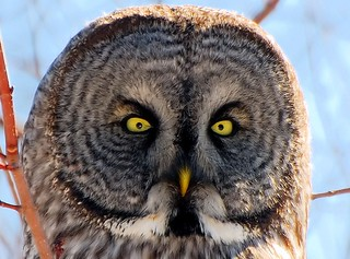 Great Gray Owl/Chouette Lapone