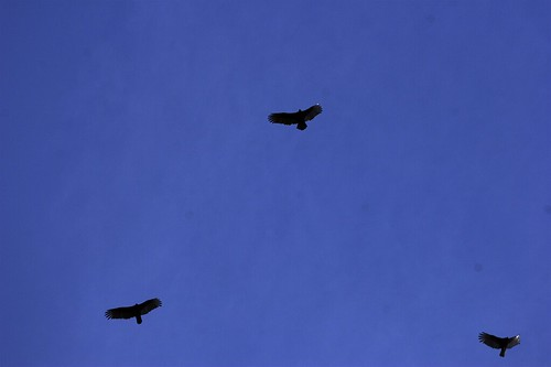 three big birds (hawks?) soaring overhead    MG 2076