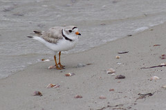 20110603 - Piping Plovers and Chicks