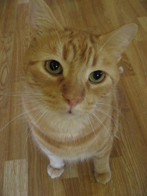 Orange Tabby Cat, Sam (previously Butterscotch)   Flickr ...