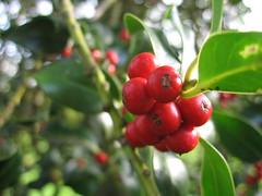 shrub, berry, branch, plant, flora, produce, fruit, food,