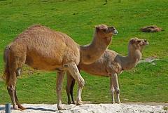 alpaca(0.0), vicuã±a(0.0), guanaco(0.0), wildlife(0.0), animal(1.0), mammal(1.0), fauna(1.0), camel(1.0), arabian camel(1.0),