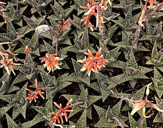Aloes  en  flor, Nikon COOLPIX S32