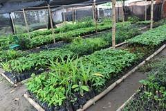 La Municipalidad impulsa siembra de plantas de cacao, trece mil de ellas serán donadas
