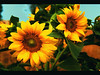 sunflower-wallpaper-splendid-wallpaper