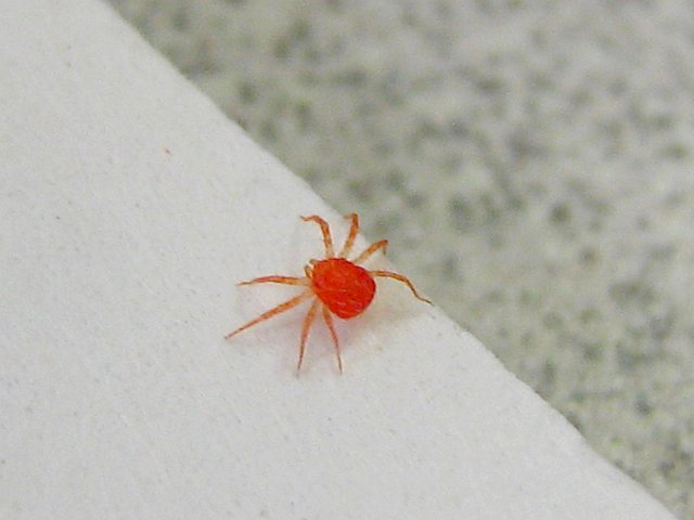 Little Red Bug Mites http://www.flickr.com/photos/squashbottomcat/2029120884/