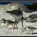 Ruddy Turnstone / Willet / Sanderling
