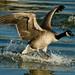 Canada Goose Landing over Water - Pineville - NC-0849 by MeckBirdsPhotos