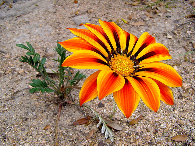 GAZANIA WITH LEAVES