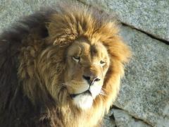 mane(0.0), animal(1.0), big cats(1.0), masai lion(1.0), lion(1.0), mammal(1.0), fauna(1.0), close-up(1.0), whiskers(1.0), wildlife(1.0),