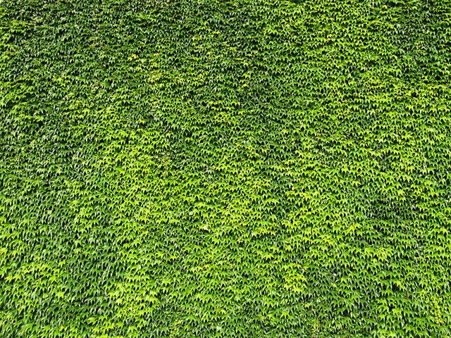 Green ivy wall 1 monumental Flickr Photo Sharing