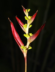 leaf(0.0), gladiolus(0.0), flower(1.0), bud(1.0), yellow(1.0), red(1.0), plant(1.0), macro photography(1.0), flora(1.0), close-up(1.0), heliconia(1.0), plant stem(1.0), petal(1.0),