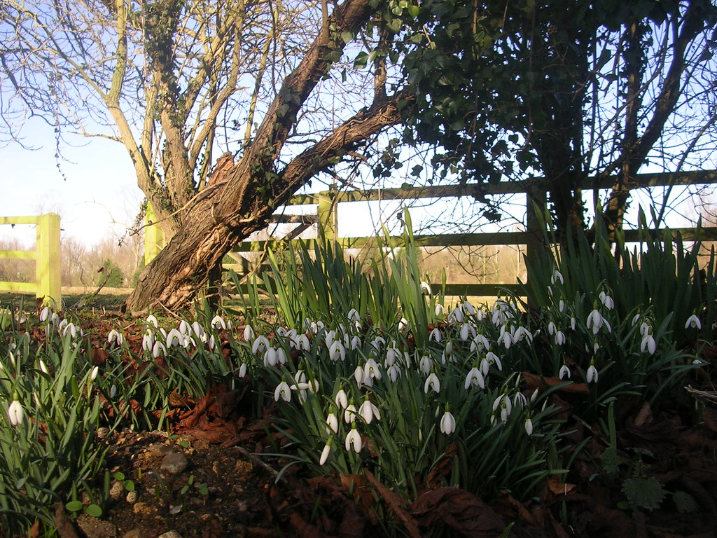 Snowdrops, Coggeshall Abbey Kelvedon circular via Coggeshall