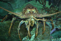 spiny lobster, animal, crustacean, seafood, organism, marine biology, invertebrate, fauna,