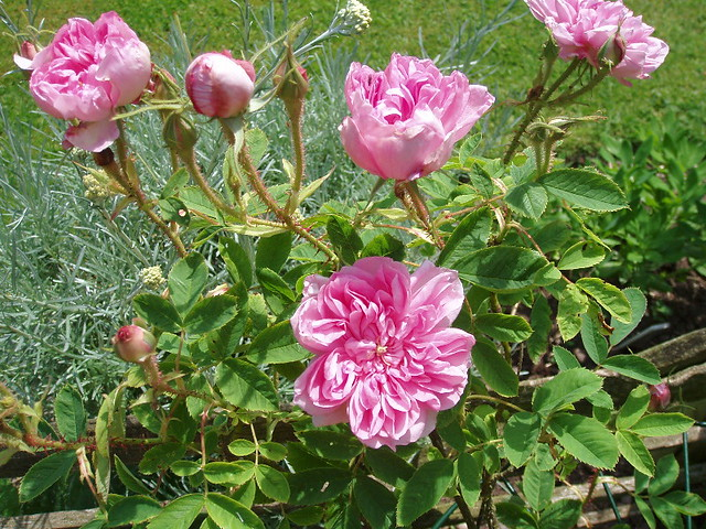 Damask Rose Omar Khayyam