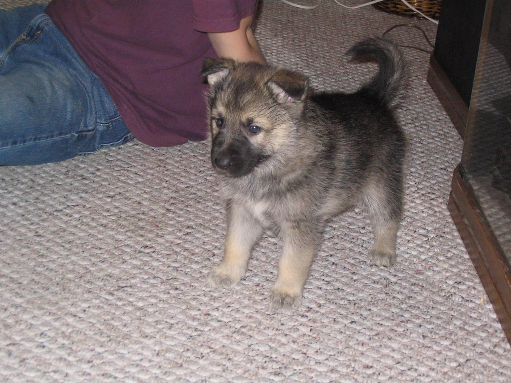 Ariel Arctic wolf /alaskan malamute / german shepherd mix - a photo on ...