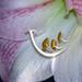Small photo of Amaryllis