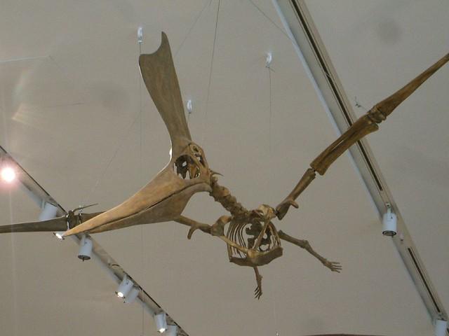 ... Royal Ontario Museum: Pterodactyl Skeleton | Flickr - Photo Sharing