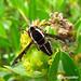 Nemestrinidae by agrojocho