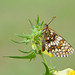 Heath Fritillary - Melitaea athalia by adrian.kennerley