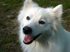 west siberian laika(0.0), norwegian buhund(0.0), white shepherd(0.0), east siberian laika(0.0), greenland dog(0.0), kishu(0.0), korean jindo dog(0.0), wolfdog(0.0), saarloos wolfdog(0.0), icelandic sheepdog(0.0), dog breed(1.0), animal(1.0), canis lupus tundrarum(1.0), dog(1.0), eurasier(1.0), japanese spitz(1.0), pet(1.0), volpino italiano(1.0), german spitz(1.0), canadian eskimo dog(1.0), berger blanc suisse(1.0), german spitz mittel(1.0), native american indian dog(1.0), carnivoran(1.0), american eskimo dog(1.0), samoyed(1.0),