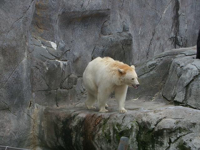 Albino Black Bear | Flickr - Photo Sharing!