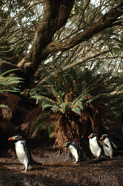 Snares Crested Penguin in Olearia Forest
