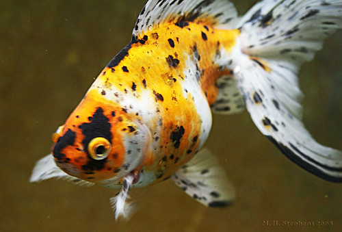 Calico Goldfish ~ Best Fish Guide