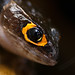 red-eyed bush crocodile skink