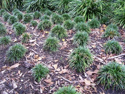 Ophiopogon japonicus 'Nana'- Dwarf Monkey Grass